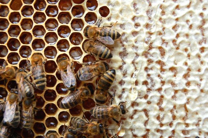 Пчелы в сотах