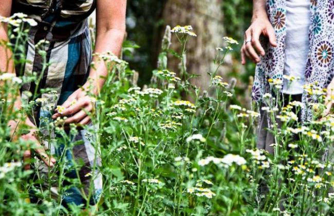 Лекарственные травы от давления повышенного