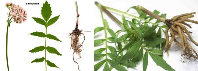 Какая трава понижает давление